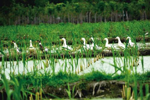 鸭子除虫 生态循环