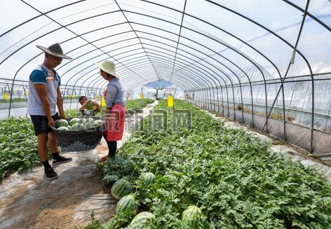 锦溪镇中锦村伟娟家庭农场的西瓜陆续成熟上市