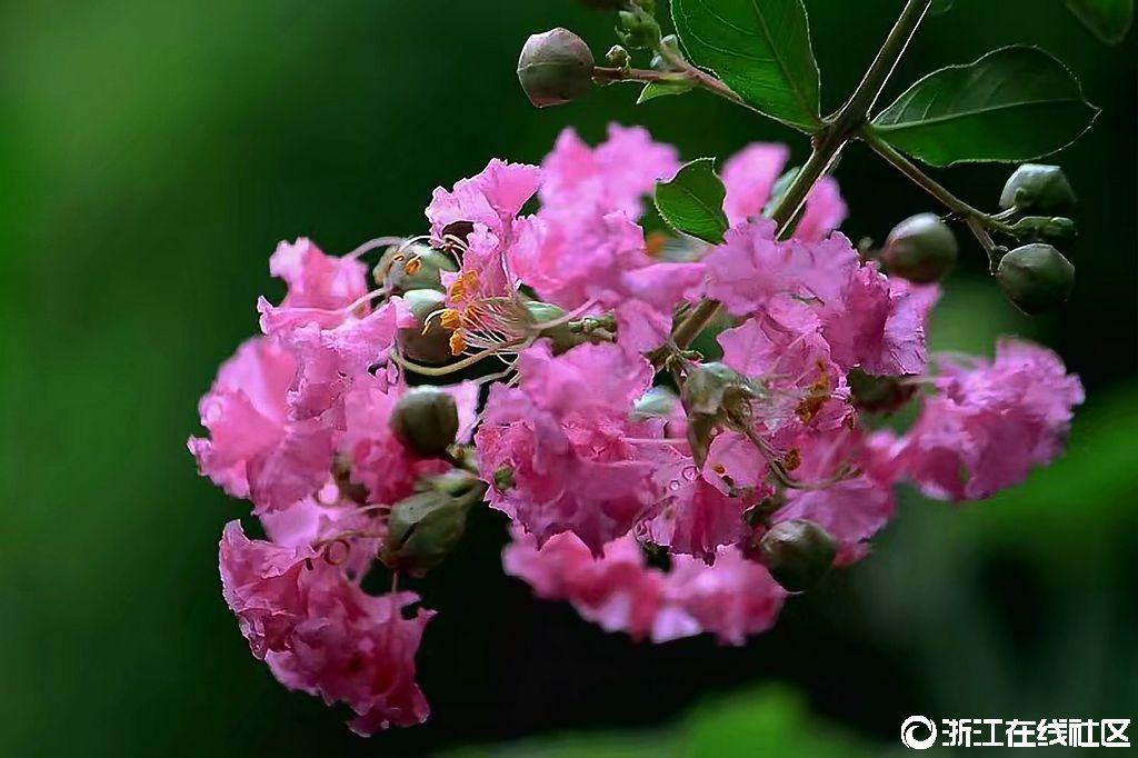 【行行摄摄】紫薇花开