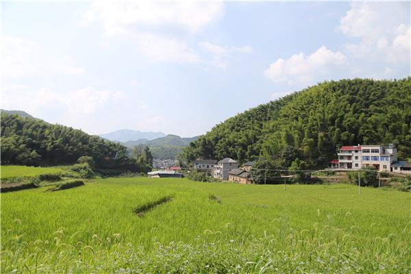 龙游:带领村民致富 村支书山垄田试种红米