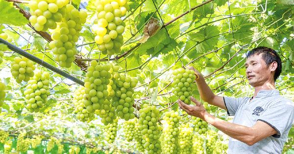 """""""贵族""""葡萄市场走俏"""