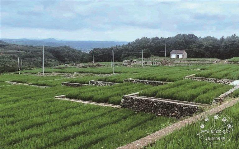 百亩旱改水如今连片是稻穗 亩产达500公斤以上