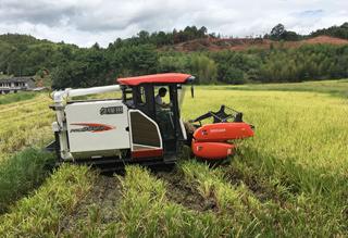 再生稻喜获丰收