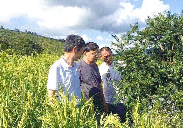 香榧地套种山稻喜获双丰收