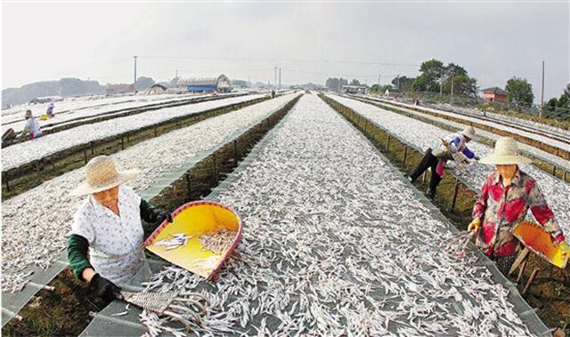 长兴:丰收季 晒鱼忙