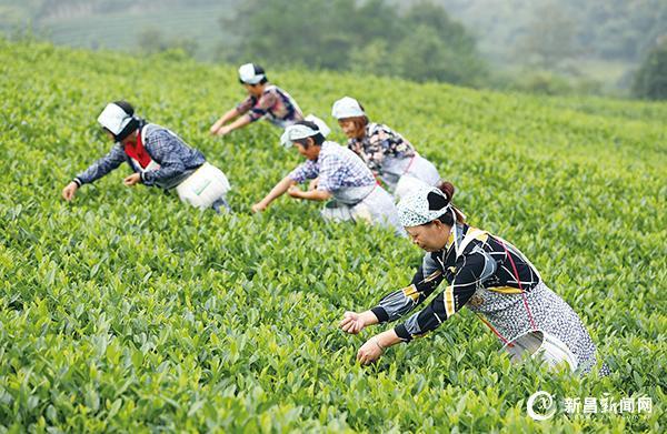 """东茗乡举办""""丰收杯""""采茶比赛"""