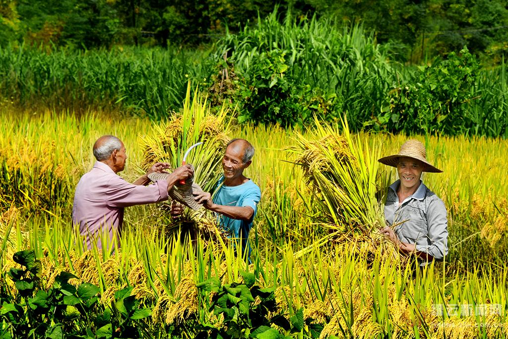 稻谷飘香丰收年