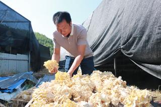 秋季黄金菇上市