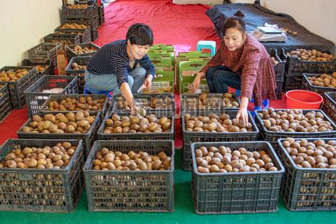 清泉猕猴桃专业合作社员工在包装发货