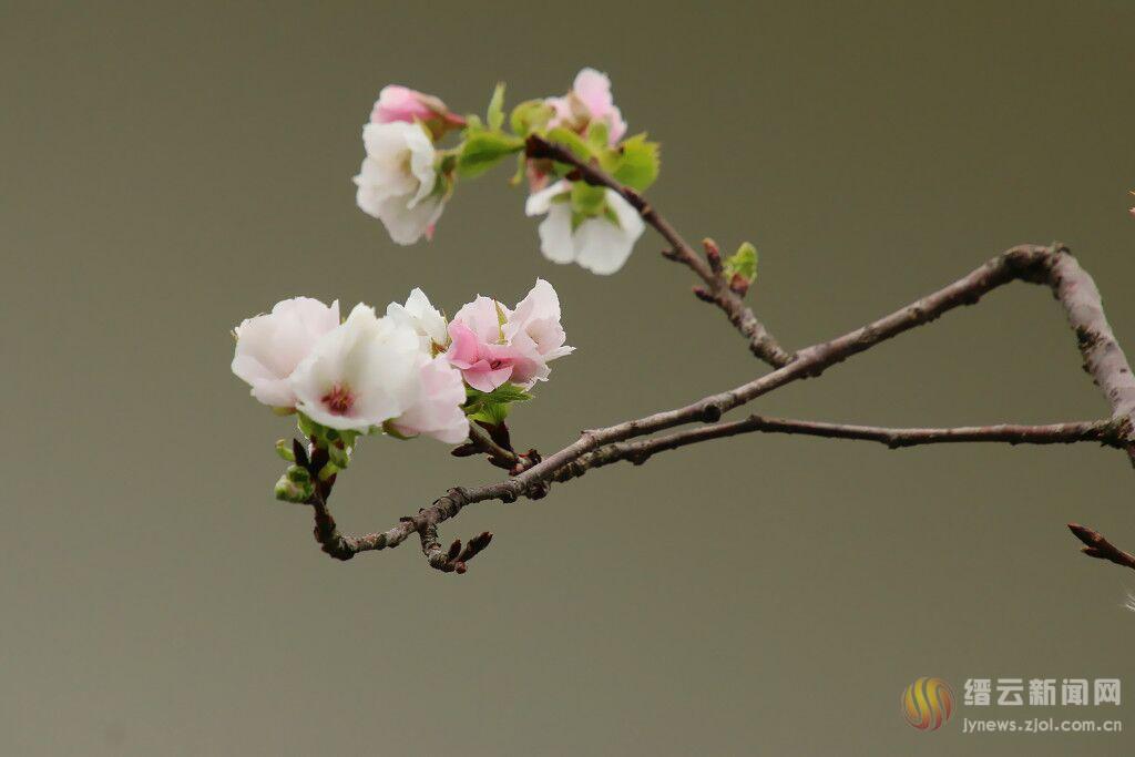 樱花反季绽放