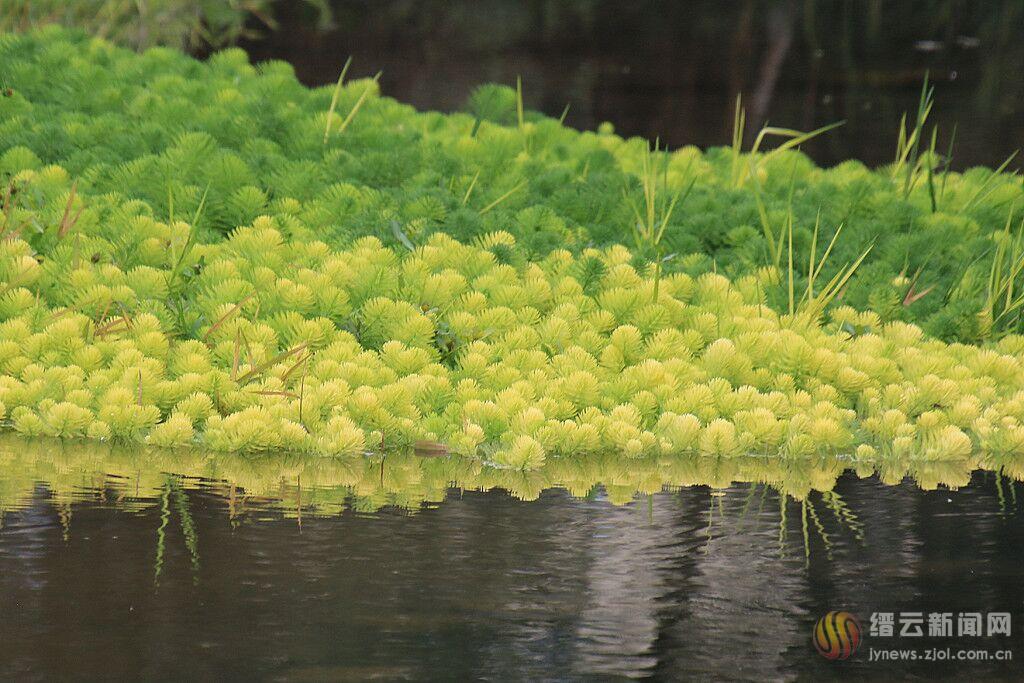 狐尾藻 �艋�水源好�褪�