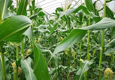 玉米水稻�作���F好收成