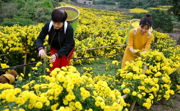 菊花绽放美丽经济