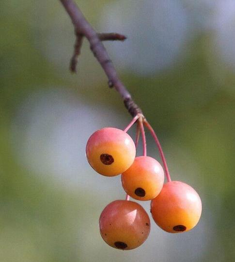海棠春花秋实