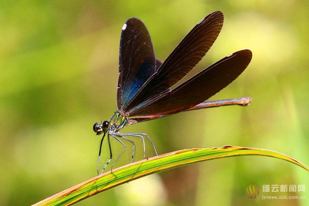 蜻蜓中的花仙子