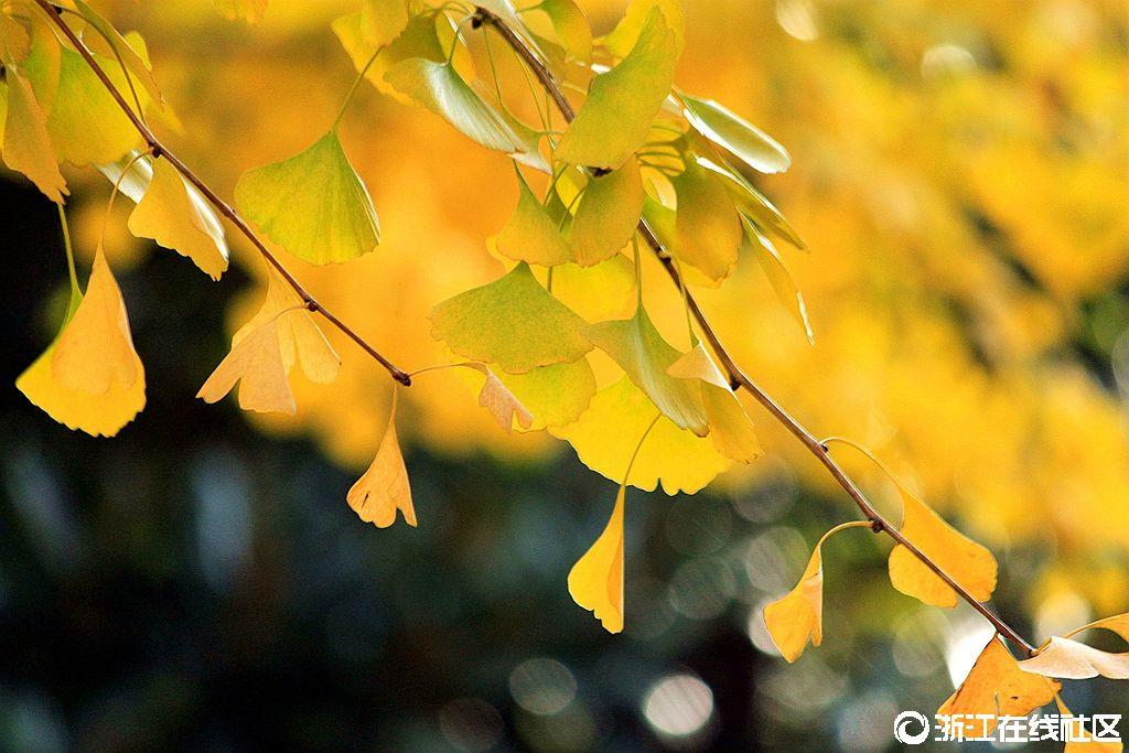 【行行摄摄】秋拍银杏