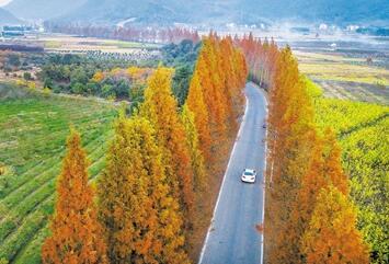 披红水杉夹道栽 冬日公路成景观