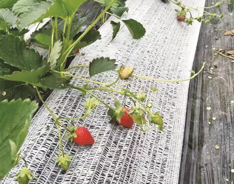 """大棚草莓""""穿衣""""防冻"""