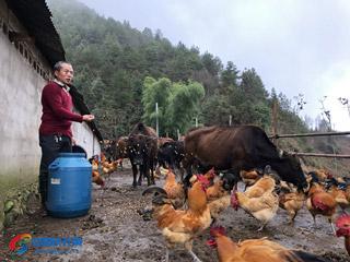 鸡牛混养效益好