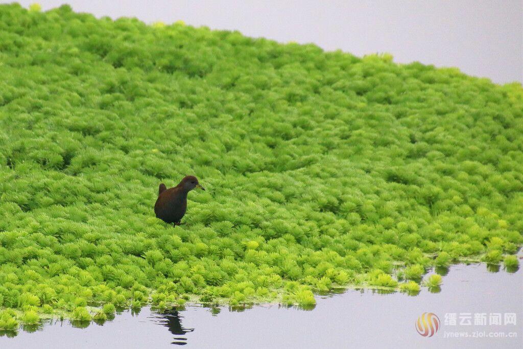 狐尾藻的绝唱