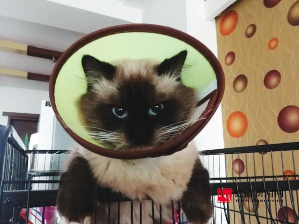 猫咪为啥戴颈圈