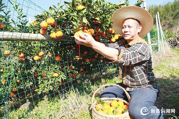 橘子熟 橘农乐