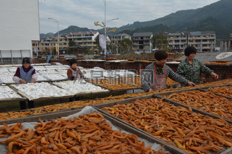竹垟畲族乡盖竹村的红薯迎来大丰收