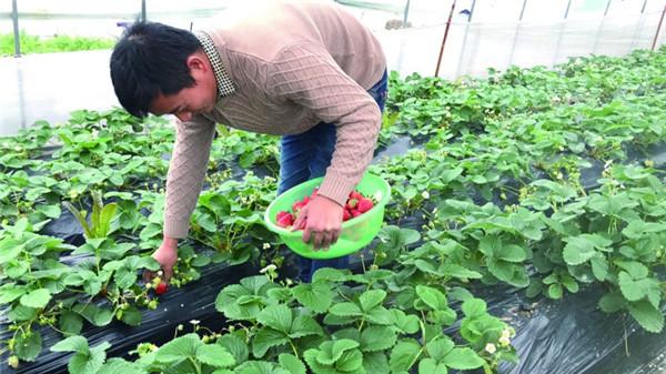 """龙游本地草莓抢""""鲜""""上市"""