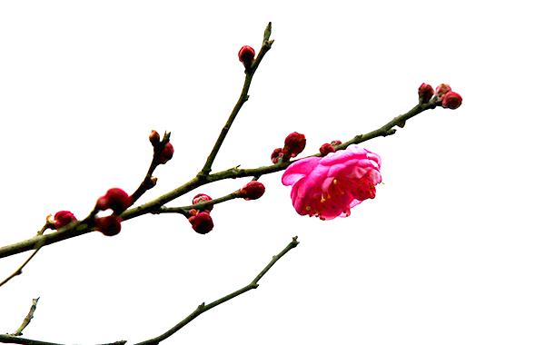 【行行摄摄】梅花唤春