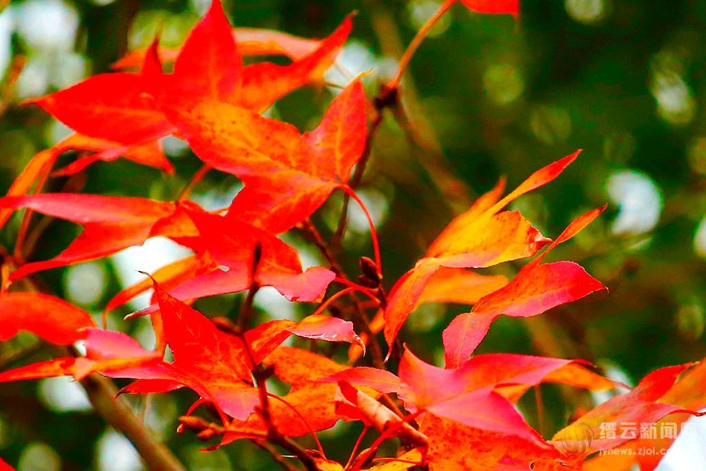 霜染枫林红如火