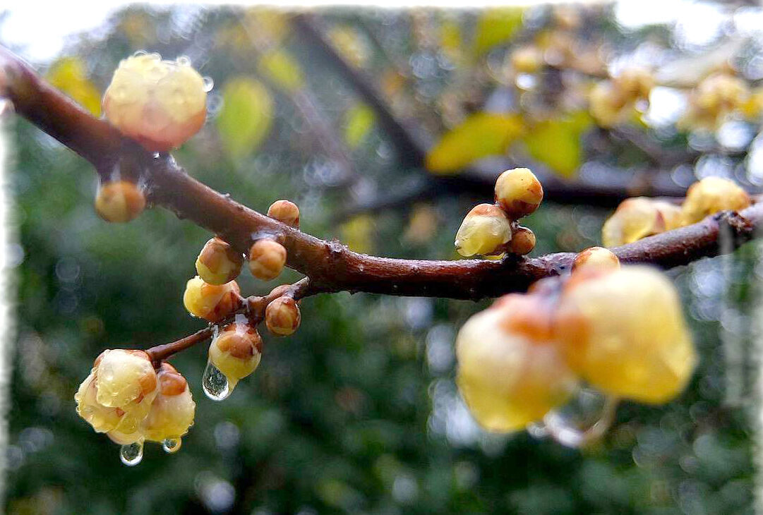 【行行摄摄】雨中腊梅