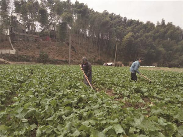 趁着天空放晴,种植户们忙着清水沟抓管理