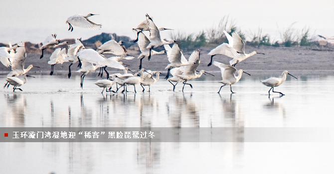 """玉环漩门湾湿地迎""""稀客""""黑脸琵鹭过冬"""