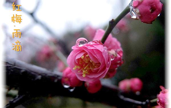 【行行摄摄】红梅・雨滴