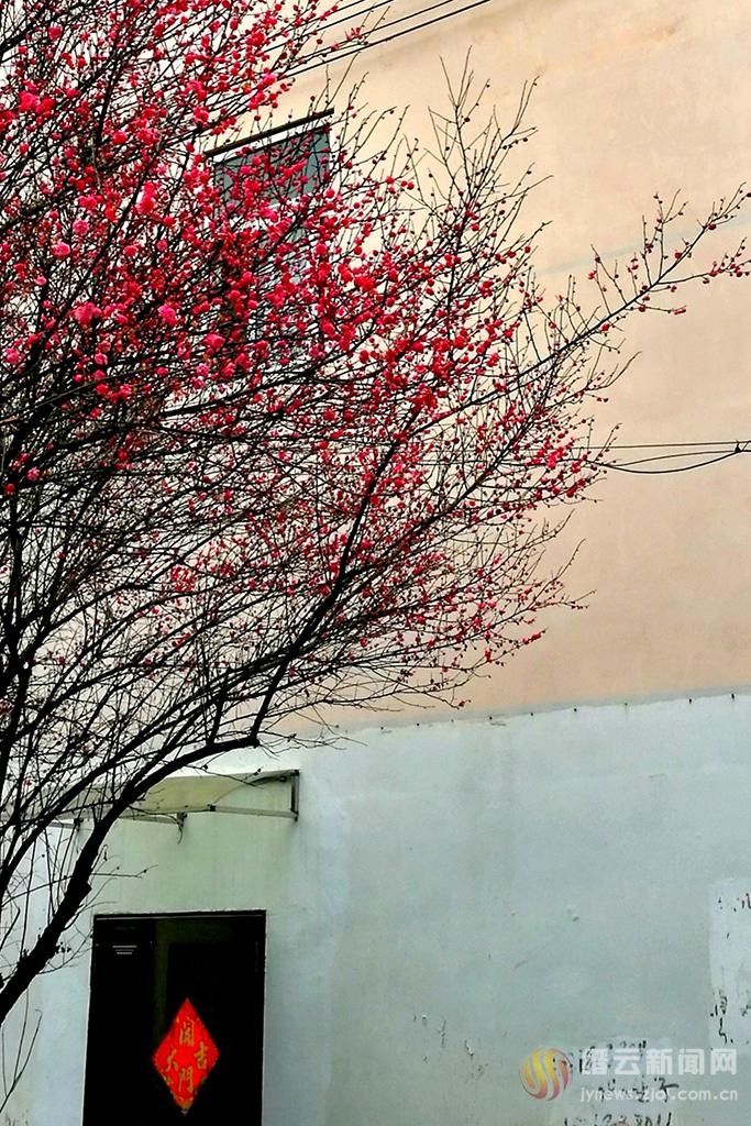 墙角红梅悄悄开