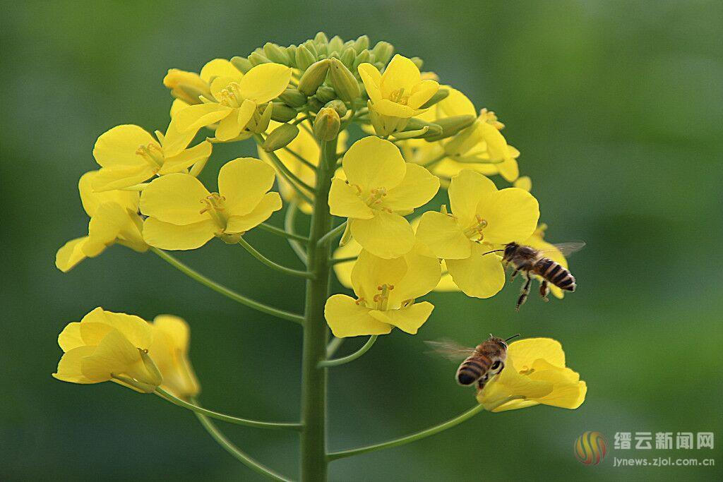 勤劳蜜蜂 采蜜忙