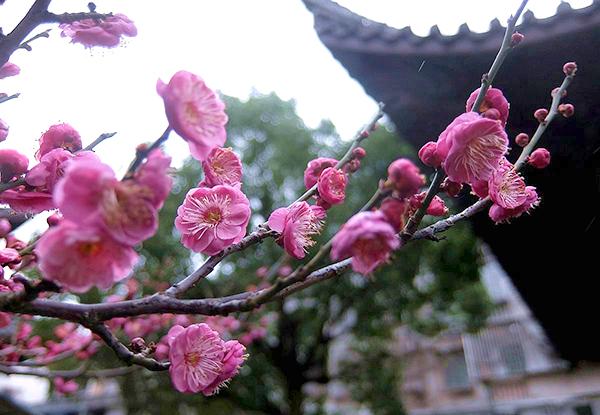 【行行摄摄】红梅花儿开