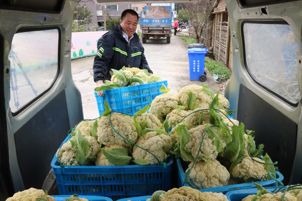 花菜迎豐收 農戶不愁賣