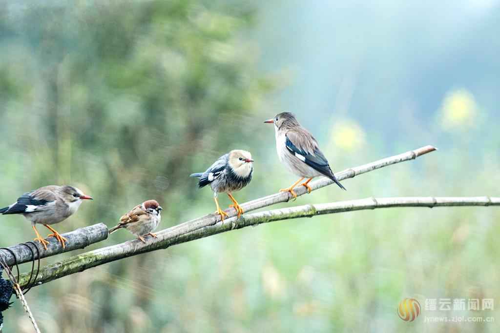 灰椋鳥鬧春