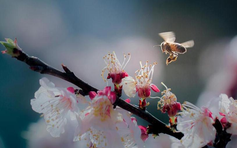 杏花盛開 蜜蜂自來