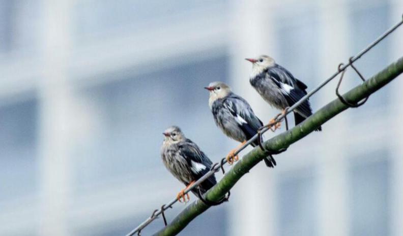 灰椋鳥向天歌