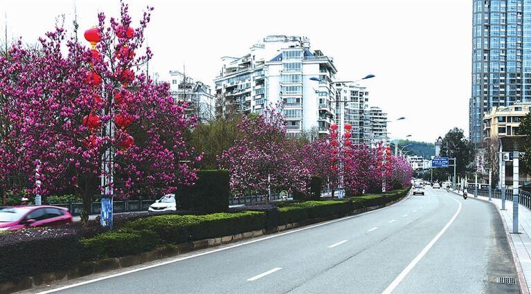 市区多条道路上玉兰花竞相开放
