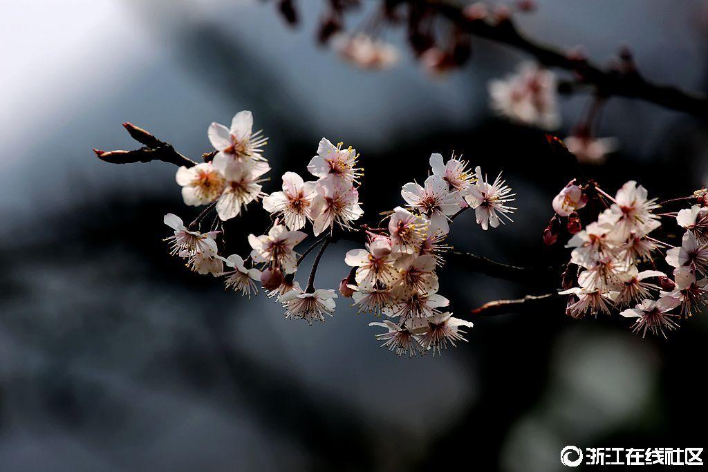 【行行摄摄】樱花
