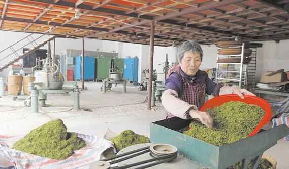 江山:天晴忙制茶