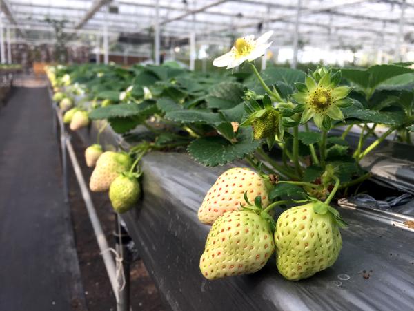 本地白草莓上市 量少价高供不应求