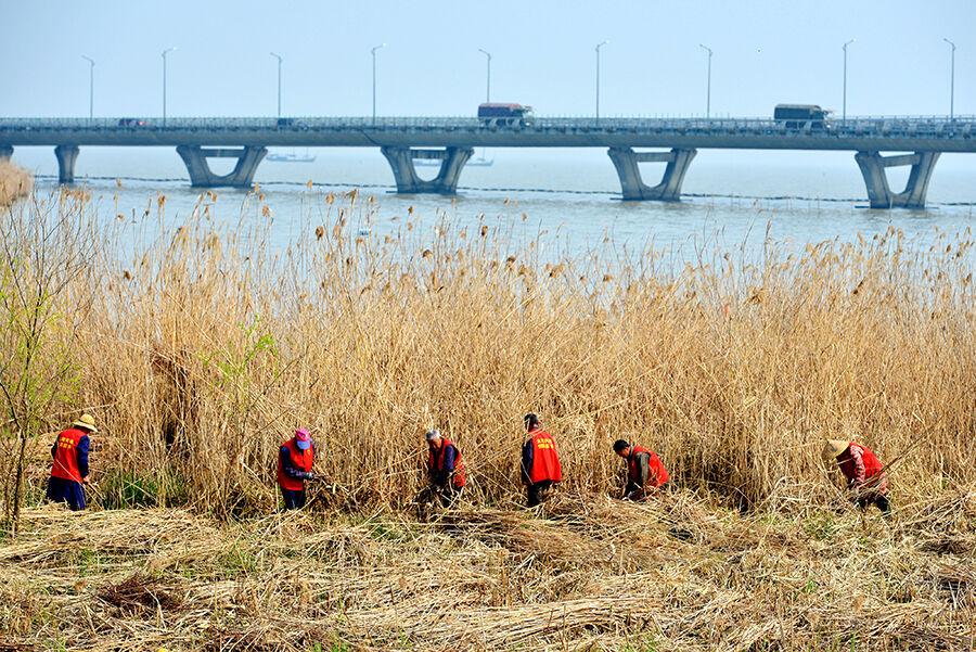 收割太湖边胡长芦苇 防二次污染