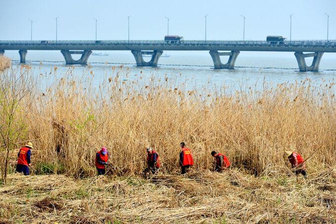 太湖岸边收割芦苇 防二次污染