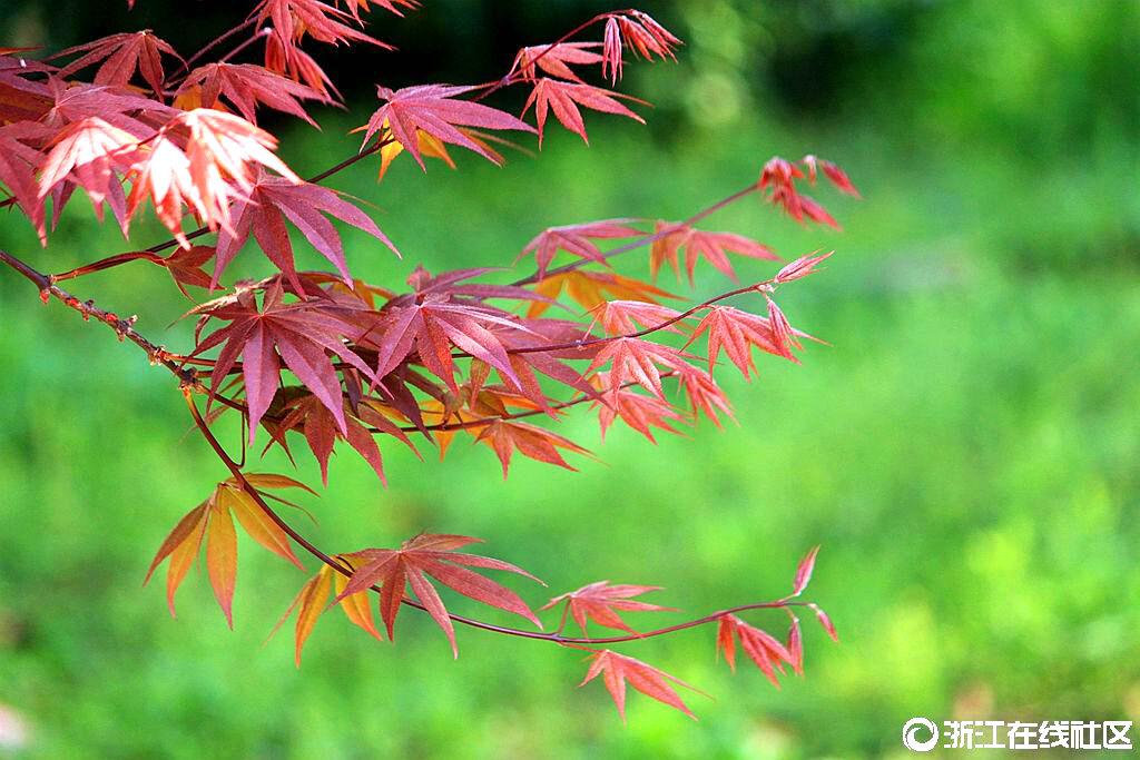 【行行摄摄】红枫