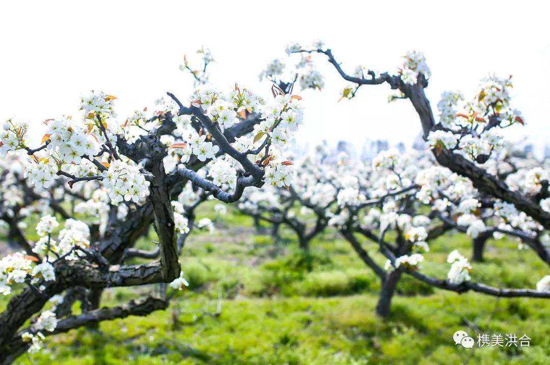 春风十里,不如洪合梨花与你!