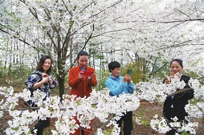 樱花绽放游客来